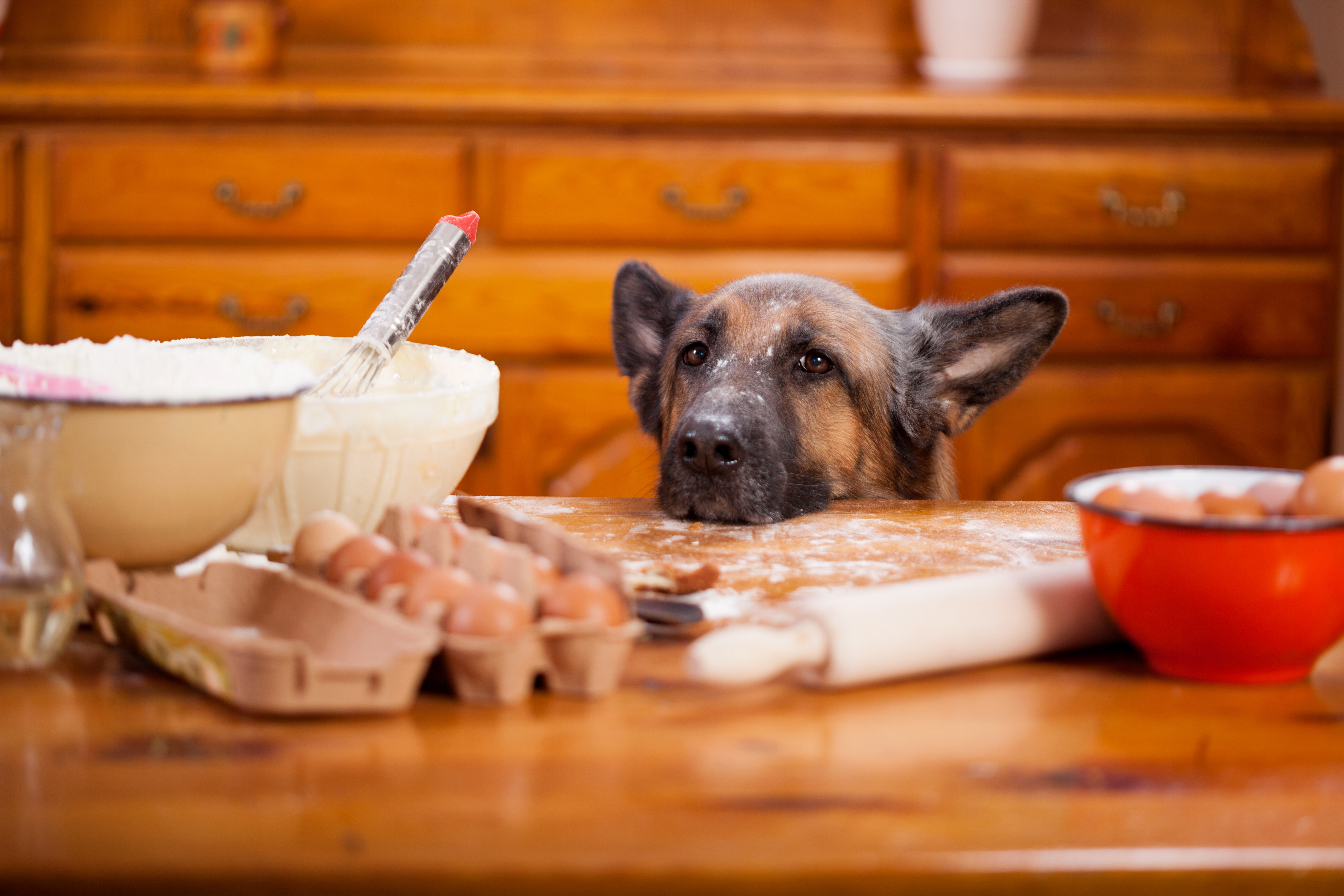 Big shepherd dog stealing from table in the kitchen